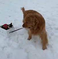 Видеоролик с псом, катающим на «санках» кота, покорил пользователей социальных сетей