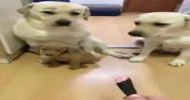 Они всё понимают: лабрадор защитил несправедливо обвиненного щенка