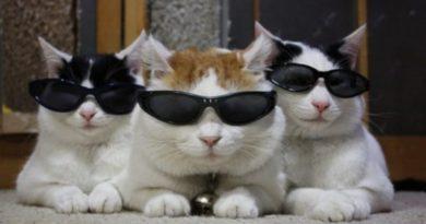 Проект «Acoustic Kitty», или коты-шпионы на службе ЦРУ