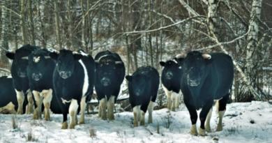 Как домашние чернобыльские коровы остались одни, одичали, а потом организовались в стадо